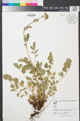Image of Drymocallis lactea
