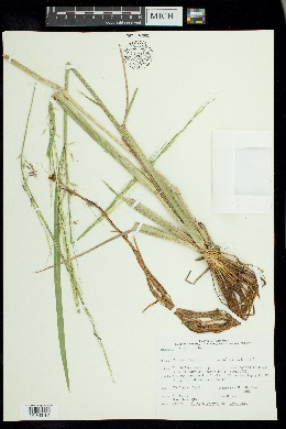 Zizania palustris var. palustris image