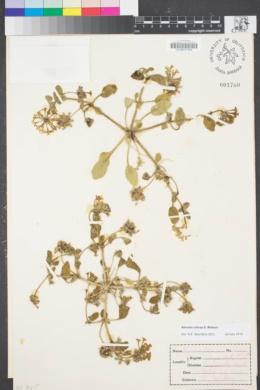 Abronia villosa image