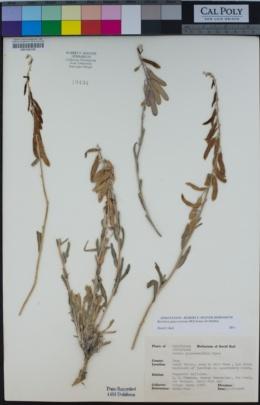 Boechera glaucovalvula image