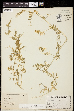 Image of Vicia biennis