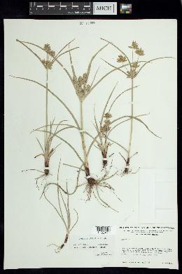 Image of Cyperus ciliatus