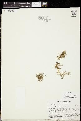Trifolium monanthum subsp. monanthum image