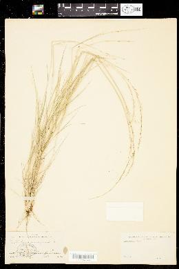 Muhlenbergia spiciformis image