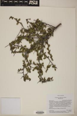 Colubrina californica image