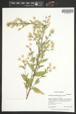 Brickellia secundiflora image