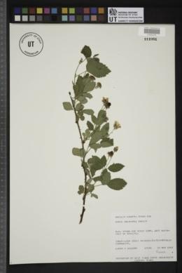 Image of Rubus oklahomus