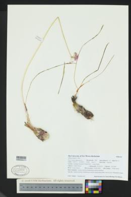 Allium kunthii image