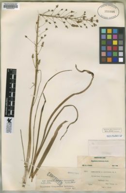 Image of Zigadenus diegoensis