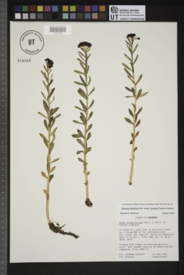 Rhodiola integrifolia subsp. procera image