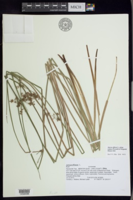Juncus effusus var. solutus image
