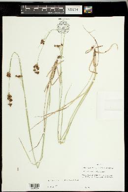 Image of Rhynchospora culixa