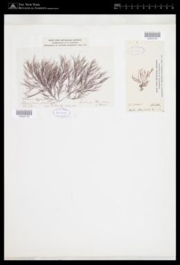 Polysiphonia allochroa image