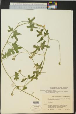 Phaseolus pedicellatus image