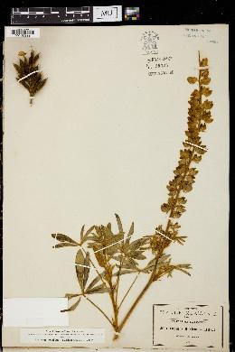 Image of Lupinus mexicanus