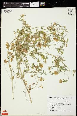 Image of Trifolium berytheum