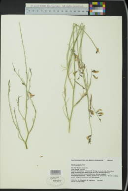 Peteria scoparia image