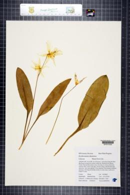 Image of Erythronium shastense