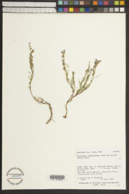 Penstemon linarioides subsp. sileri image
