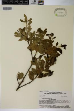 Quercus agrifolia var. agrifolia image