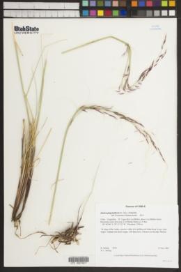 Image of Stipa pogonathera