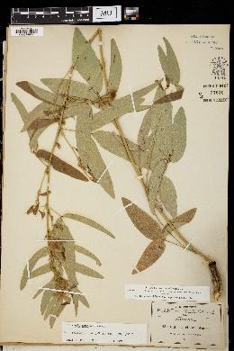 Image of Clitoria triflora