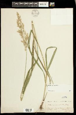 Image of Calamagrostis porteri