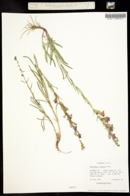 Penstemon virgatus image