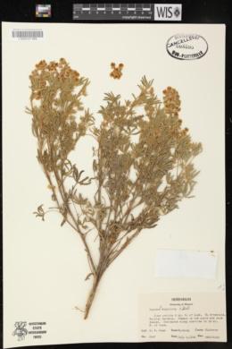 Lupinus alpestris image