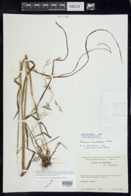 Bromus exaltatus image