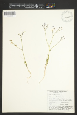 Gilia scopulorum image
