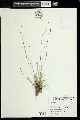 Bouteloua polymorpha image