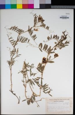 Vicia americana subsp. americana image