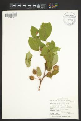 Malus prunifolia image