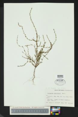 Polygonum douglasii subsp. johnstonii image