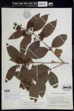 Bronwenia cornifolia image