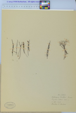 Argyrochosma fendleri image