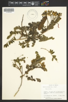 Image of Cassia polyantha
