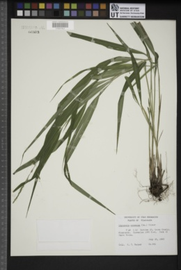 Oryzopsis racemosa image