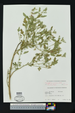 Image of Sphaeralcea procera