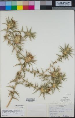 Carthamus lanatus image