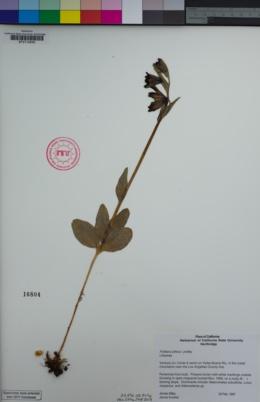Fritillaria biflora image