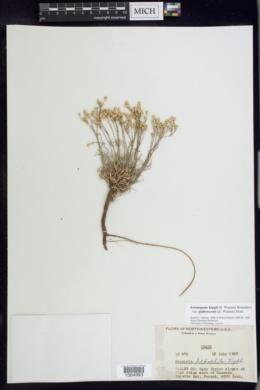 Eremogone kingii var. glabrescens image