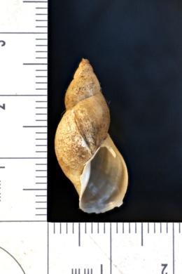 Image of Stagnicola proxima