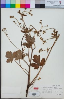 Image of Sanicula hoffmannii