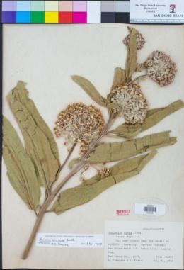 Asclepias eriocarpa image