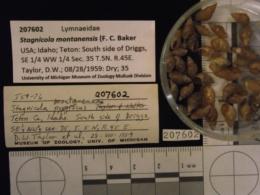 Image of Stagnicola montanensis