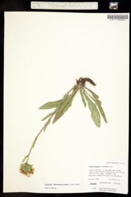 Haplopappus croceus image
