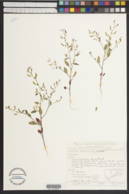 Camissonia exilis image