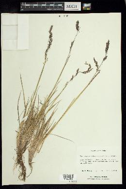 Deschampsia liebmanniana image